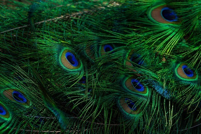 Why Lord Krishna Wears A Peacock Feather On His Head? Read The Story Here